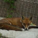 (63) 私たちのために、ぶどう畑を荒らすキツネや子狐を捕らえておくれ。
