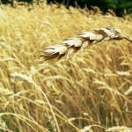 """(245) """"少しだけ蒔く者は、少しだけ刈り取り、豊かに蒔く者は、豊かに刈り取ります。"""""""